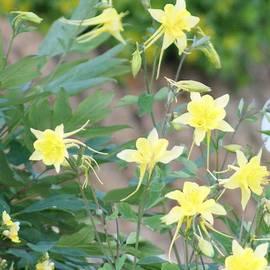 Beautiful Yellow Columbine by Paul - Phyllis Stuart