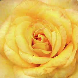 Beautiful Yellow Rose by Don Johnson
