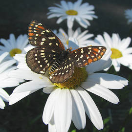 Butterfly and Shasta Daisy - Beauty in the Garden - Nature Photography by Brooks Garten Hauschild