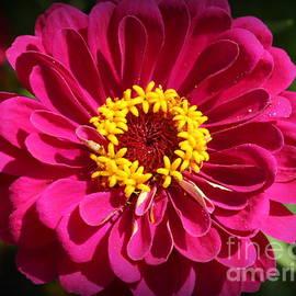 Beauty in the Garden - Pink Zinnia by Dora Sofia Caputo