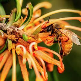 Bee in a grevillea by Ann Skrobot