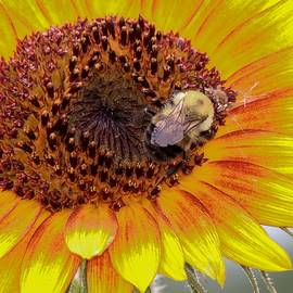 Bee on a Sunflower by Susan Rydberg