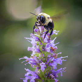 Bee on Flowers by Morey Gers