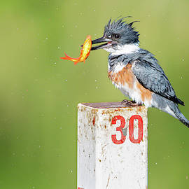 Belted Kingfisher 03 by Judy Tomlinson