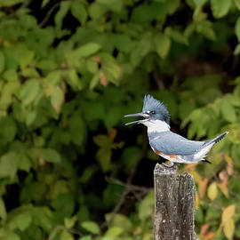 Belted Kingfisher calling by Jack Nevitt