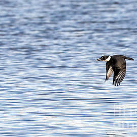 Sam Rino - Belted Kingfisher In Flight