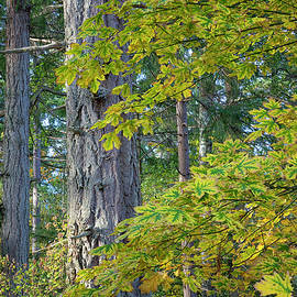 Big Leaf Maple by Randy Hall