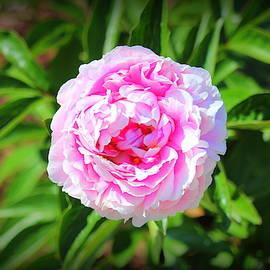 Big Pink Bloom by Cynthia Guinn
