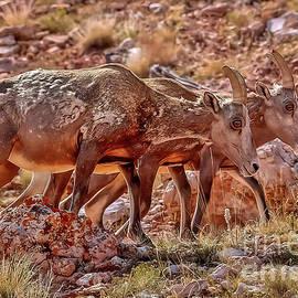 Bighorn Canyon Sheep Trio by Janice Pariza