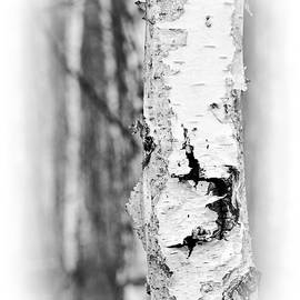 Birch tree closeup, vertical by Robert Pastryk