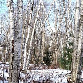 Birch Trees In Glory by Christopher Shellhammer