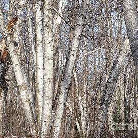 Christopher Shellhammer - Birch trees in the forest