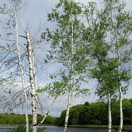Birch Trees in the Spring Wind by Lyuba Filatova