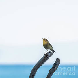 Flycatcher And Blue Sea by Flo Photography