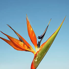 Bird of Paradise by Sally Weigand