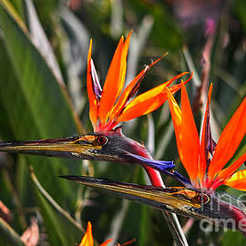 Birds of Paradise by Kira Bodensted
