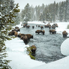 Bison Herd In River 3 by Timothy Hacker