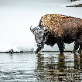 Bison Stare by Timothy Hacker