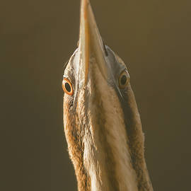 Allen Trivett - Bittern close up
