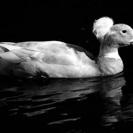 Stamp City - Black and White Crested Duck