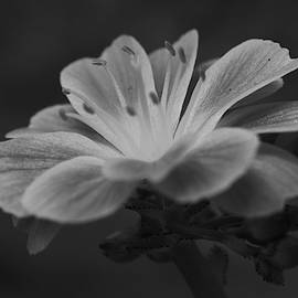 Black and White Lewisia by Jimmy Chuck Smith