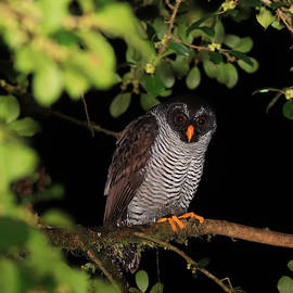 Black-and-white Owl Costa Rica by Marlin and Laura Hum
