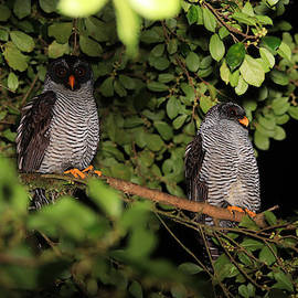 Black and White Owl Pair Costa Rica by Marlin and Laura Hum