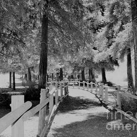 Black and White Redwoods by Suzanne Wilkinson