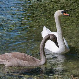 Dimitris Sivyllis - Black And White Swans