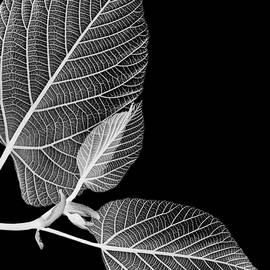 Black And White X Ray Leaves  by Christina Rollo