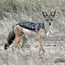 Black-backed Jackal by Marta Kazmierska