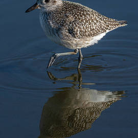 Black-bellied Plover Reflected 10/4 by Bruce Frye