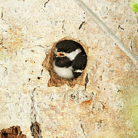 Michael Trewet - Black Capped Chickadee chicks 7646