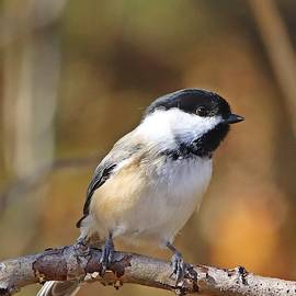 Black-capped Chickadee in Fall Portrait by Marlin and Laura Hum