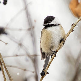 Black Capped Chickadee in Falling Snow by Peggy Collins