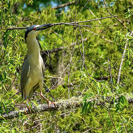 Black Capped Night Heron with Large Stick by TJ Baccari