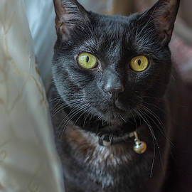 Black Cat By Curtains by Keith Smith