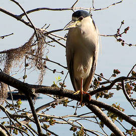 Black Crown Night Heron Perching   by Chris Mercer