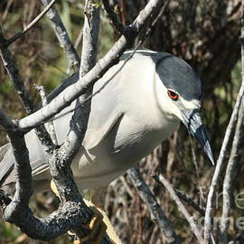 John Ray - Black-Crowned Night-Heron