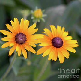 Black Eyed Susan by Cathy Donohoue