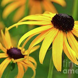 Black-eyed Susan Flowers on Green  by Regina Geoghan