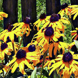 Black Eyed Susans by Fence by Susan Savad