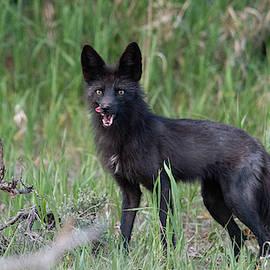 Black Fox Vixen by Patrick Nowotny