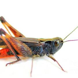 Black grasshopper on white by Gregory DUBUS