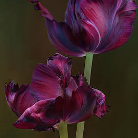 Black Parrot Tulips 2 by Isabela and Skender Cocoli