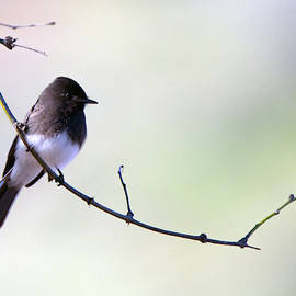 Black Phoebe 5301-022619 by Tam Ryan