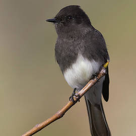Doug Herr - Black Phoebe, Sacramento County California