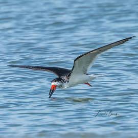 Black Skimmer Skimming by Linda Burek