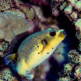 Black Spotted Puffer by Christina Ford