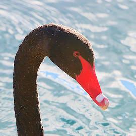 Shoal Hollingsworth - Black Swan